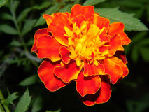 Flower. flowers. marigold.velvet ribbon. Royalty Free Stock Images