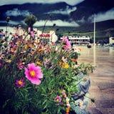 Flower. The flowers in Tibet Stock Image