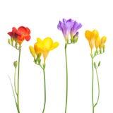 Flower . Floxia. Flowers on white background. Floxia Royalty Free Stock Photo