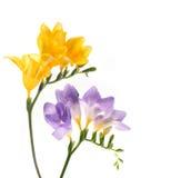 Flower. Floxia. Flowers on white background. Floxia Stock Image
