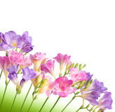 Flower. Floxia. Flowers on white background. Floxia Royalty Free Stock Photo