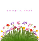Flower. Floxia. Flowers on white background. Floxia Stock Images