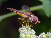 Flower fly Royalty Free Stock Image