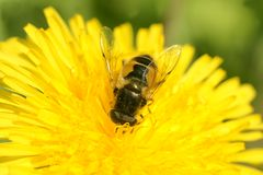 The flower fly. Royalty Free Stock Photo