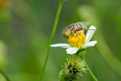 Flower fly on Bidens pilosa flower Royalty Free Stock Images