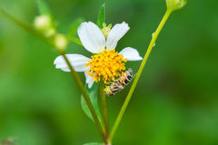 Flower fly collecting nectar Royalty Free Stock Photo