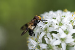 Flower fly. Collects nectar from the flower, Eleutherococcus Royalty Free Stock Images