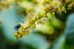 Flower fly Stock Photography