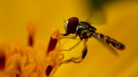 Flower Fly Eating Pollen Royalty Free Stock Photos