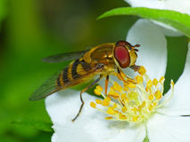 Flower Fly Feeding on Pollen Stock Photo