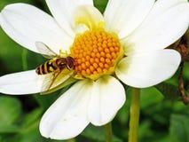 Flower Fly on Flower Stock Image