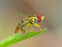 Flower Fly On A Leaf Stock Photos