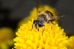 Flower fly. Macro Royalty Free Stock Images