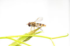flower fly sits on a green plant on a white background Stock Photos