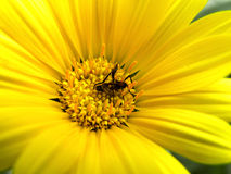 Flower fly in yellow daisy. Royalty Free Stock Photography