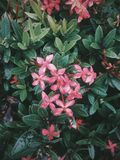Flower focus Ixora Santan. Ixora or Santan flower, commonly found shrub in tropical places like philippines, malaysia, and florida. Captured in a moody weather Stock Image