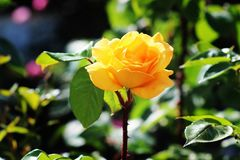 Flower in focus. A pink rose in my focus Royalty Free Stock Photos