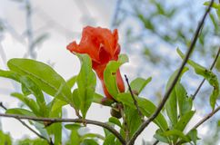 Flower and Foliage of the Pomegranate Tree. Orange color, double, bell-shaped blossom of the pomegranate tree on a small branch among foliage. The delicate royalty free stock photos