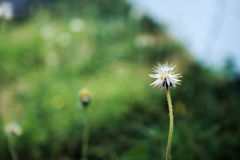 Flower at the footpath. White flower bokeh background in the green field royalty free stock image