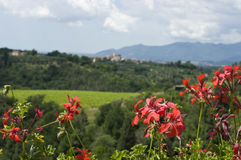 Flower Foreground View of Tuscan Vineyards & Villa. A blurred valley view from the castle of the Tuscany winery, Sangervasio, with red flowers prominent in the Royalty Free Stock Photo