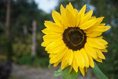 Flower of the forest. Sunflower closeup with forest background royalty free stock photography