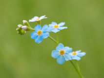 Flower a forget-me-not Royalty Free Stock Photo