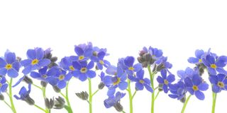 Flower forget me not Stock Photos