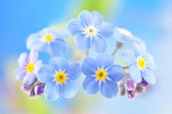 Flower forget me not Royalty Free Stock Image