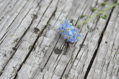 Flower forget-me Royalty Free Stock Photography