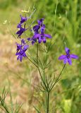 Flower Forking Larkspur. Beautiful blossom of purple violet flower Forking Larkspur Consolida regalis Royalty Free Stock Images