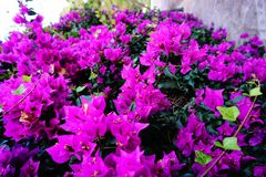 Ultraviolet Very purple flowers bloosom in spain stock photo