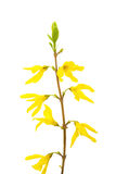 Flower forsythia Royalty Free Stock Photos