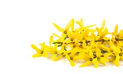 Flower forsythia Royalty Free Stock Photo