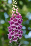 Flower foxglove, lat. Digitalis purpurea Stock Photography