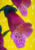 Flower - Foxgloves Royalty Free Stock Images