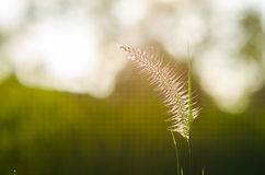 Flower foxtail weed Stock Photography