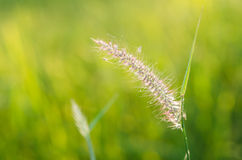 Flower foxtail weed Stock Images