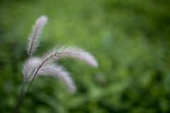 Flower foxtail weed against green background Stock Photo