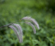 Flower foxtail weed against green background Royalty Free Stock Photo