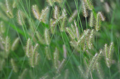 Flower foxtail Royalty Free Stock Photos