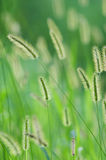 Flower foxtail Royalty Free Stock Photo