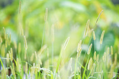 Flower foxtail weed in the green nature Royalty Free Stock Image