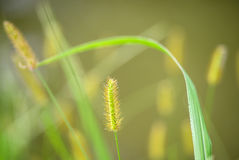 Flower foxtail weed in the green nature Royalty Free Stock Photography