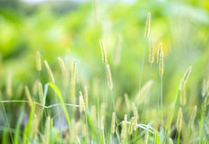 Flower foxtail weed in the green nature Stock Photo