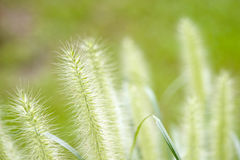 Flower foxtail weed in the green nature Stock Photography