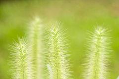 Flower foxtail weed in the green nature Royalty Free Stock Photo