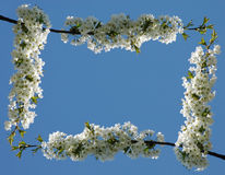 Flower frame #01 (normal). Frame made by cherry flowers royalty free stock image