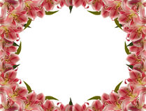 Flower frame. Floral frame of lily flower over white stock image