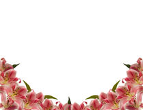 Flower frame. Floral frame of lily flower over white royalty free stock images