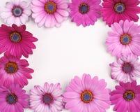 Flower frame. Purple rose daisy flowers in a frame Stock Photos
